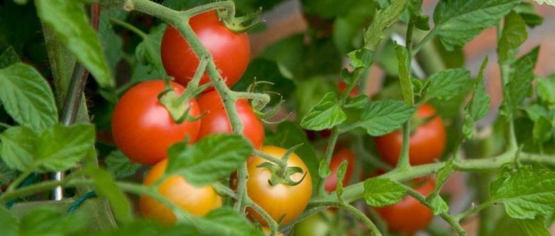Минеральные  удобрение     для  томатов