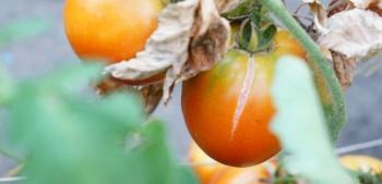 Почему трескаются плоды помидоров прямо на кустах?