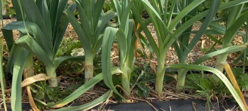 Как выращивать лук-порей рассадой