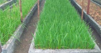 Выращивание лука в теплице