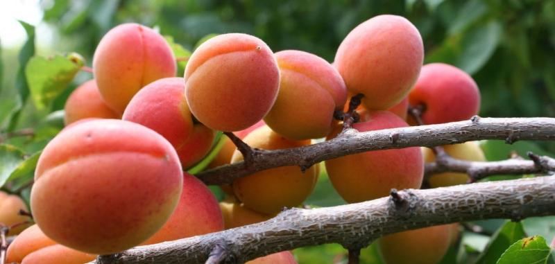 Поздние сорта абрикосов