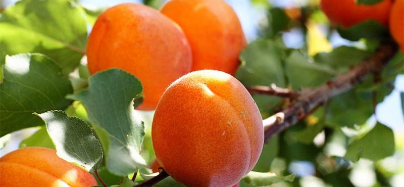 Подвой для абрикоса