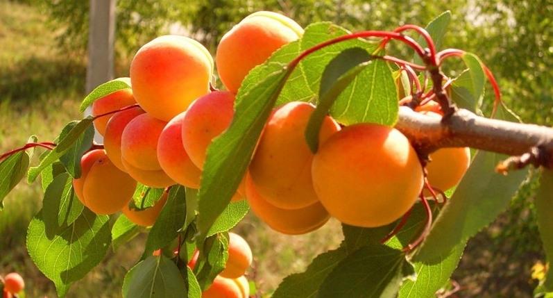 Ранние сорта абрикоса
