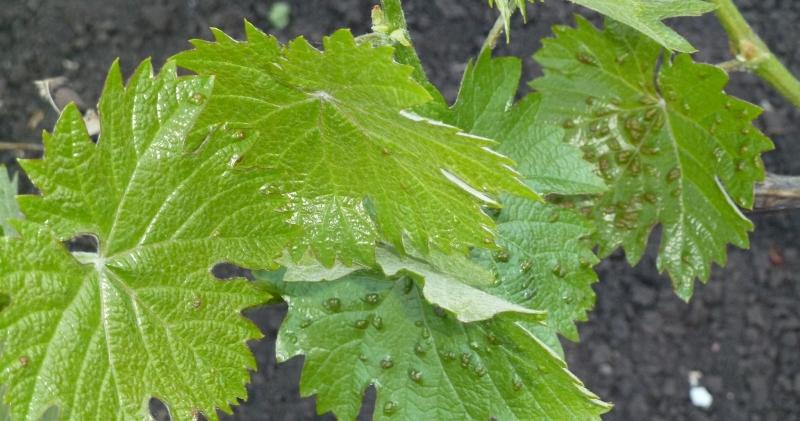 Опыт выращивания филлоксероустойчивых сортов винограда