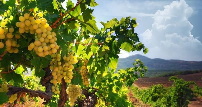 Импортные сорта виноград описание
