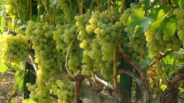Как обрезать виноград на арке или беседке?