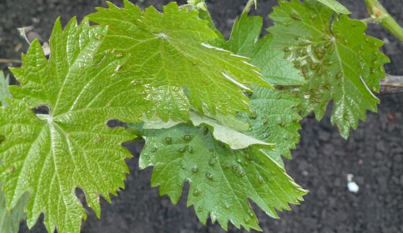На листьях винограда появились бугорки, что делать?