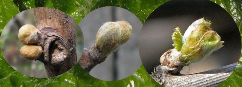 Стимуляция закладки зимующих плодовых почек винограда в первый год вегетации