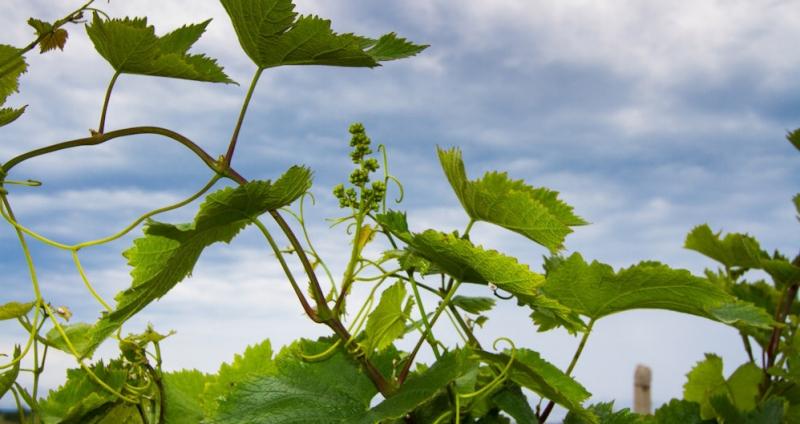 С чего начать закладку виноградника