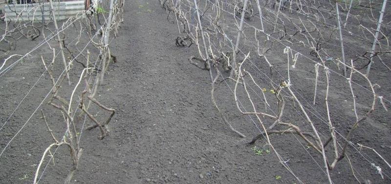 Что делать весной и летом на винограднике