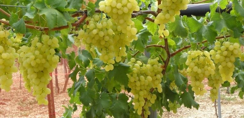 Селекция бессемянных сортов винограда