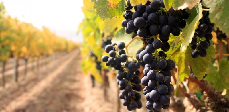 Группа сортов винограда бассейна Черного моря