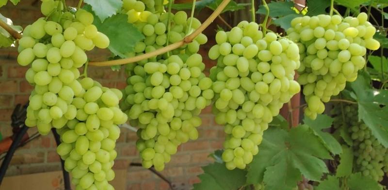 Селекция в виноградарстве