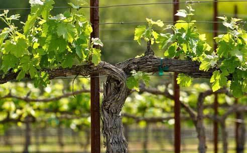 Разновидности формировок кустов винограда