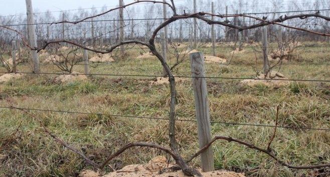 Кордонная формировка винограда?