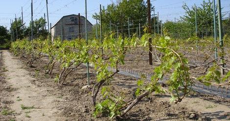 Формировка винограда системой Ленца Мозера?