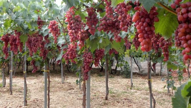 Высокоштамбовая формировка винограда