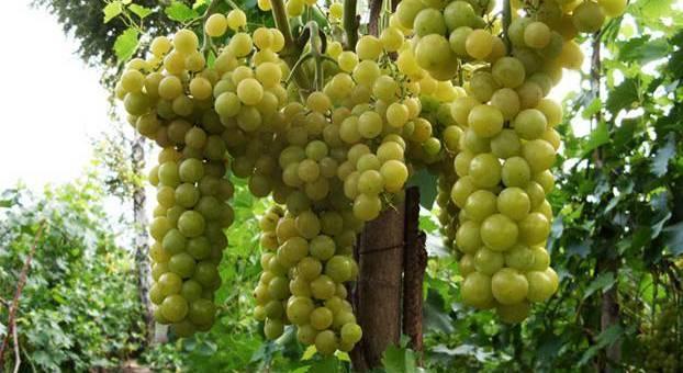Сорт винограда Королева Парижа