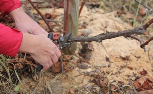 Сортовые особенности обрезки винограда