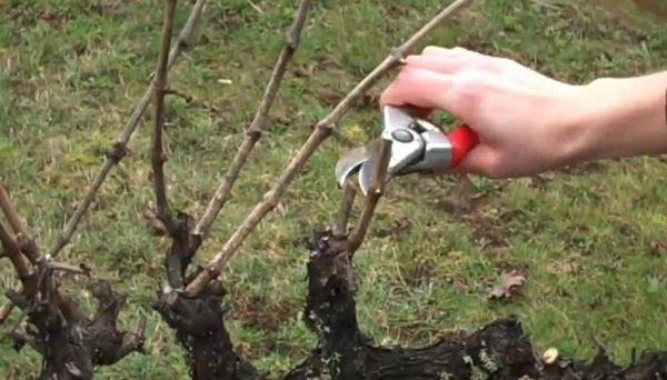 Каждому сорту винограда - своя обрезка