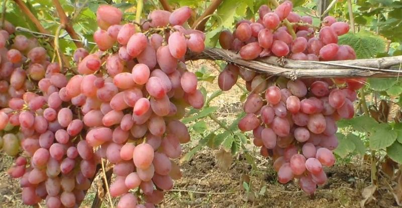 Возможно собрать по 80-100 кг ягод с куста винограда