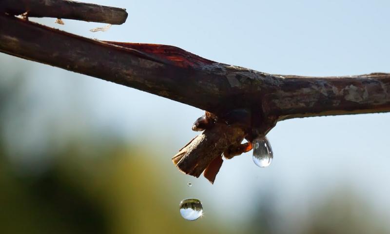 Влияние температуры на развитие  винограда