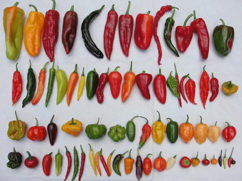 Сорта перца: популярные и проверенные временем