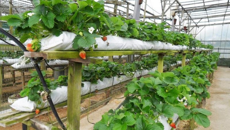 Технология выращивания клубники в теплице