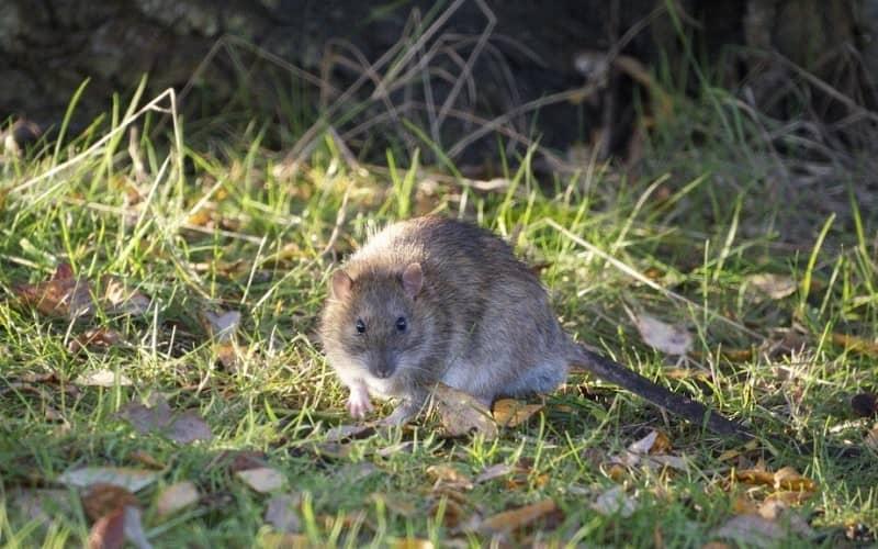 Как выбрать отпугиватель крыс и мышей