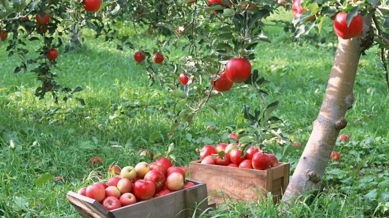 Самостоятельное выращивание яблони дома